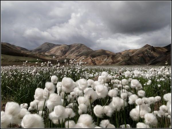 Cotton Grass, Iceland