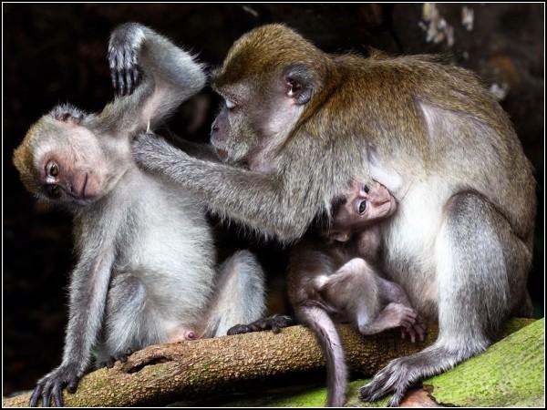 Monkeys, Macritchie Reservoi