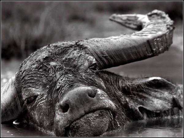 Buffalo, Indonesia