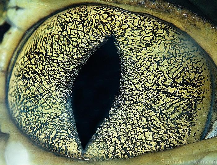 Глаз каймана