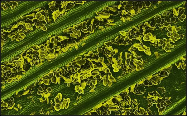 Макрофотография ананасового листа