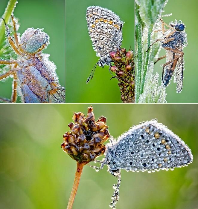 Бабочки и мушки в каплях утренней росы. Удивительные макрофотографии Давида Шамбона (David Chambon)