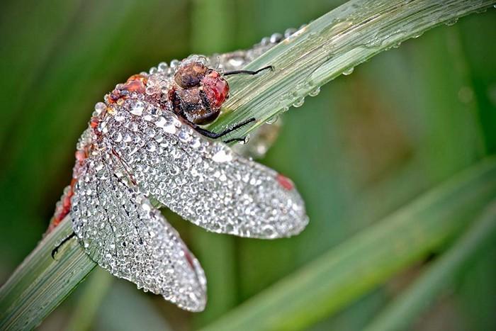 Покрытая росой стрекоза. Удивительные макрофотографии Давида Шамбона (David Chambon)