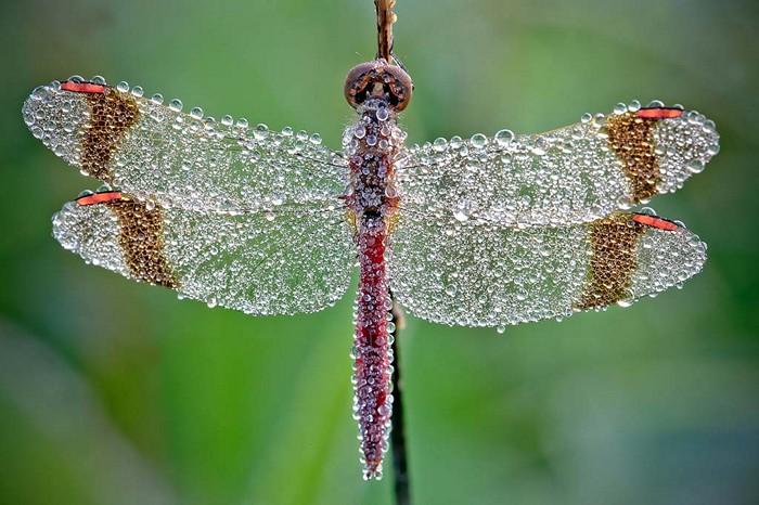 Красавица-стрекоза в каплях утренней росы. Удивительные макрофотографии Давида Шамбона (David Chambon)