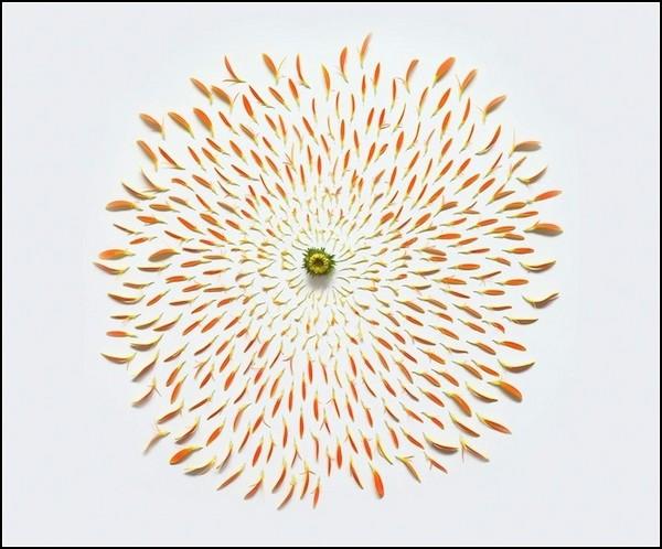 Exploding Flowers. Лучики-лепестки хризантемы обычной