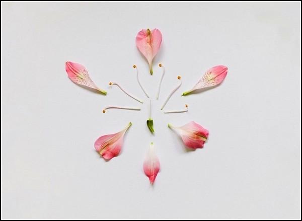 Красавица перуанская лилия в разобранном состоянии