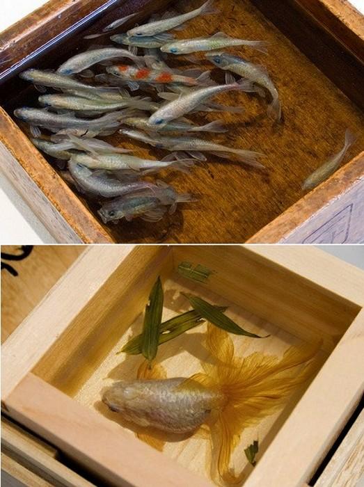 Нарисованные трехмерные рыбки в арт-проекте Goldfish Salvation.