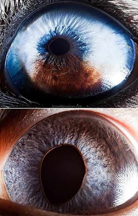 Глаза собаки хаски (вверху) и сиамской кошки (внизу)