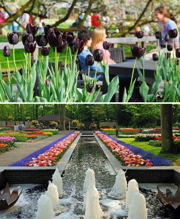 Голландское царство цветов: 15 км цветочных дорожек