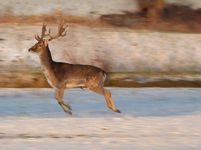 Deer, Czech Republic