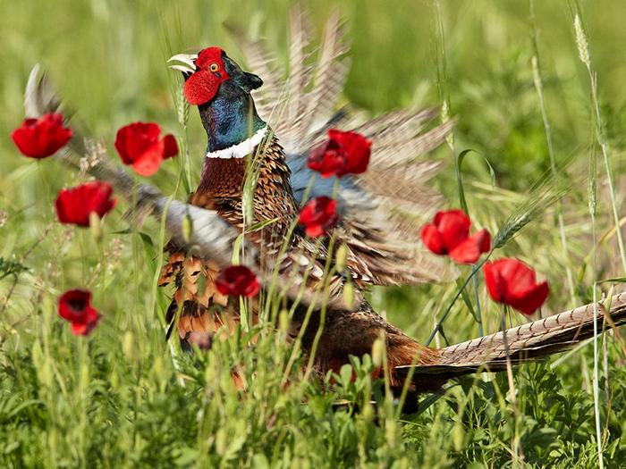 Pheasant, Italy
