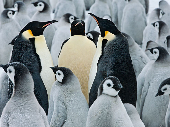 Emperor Penguin Colony, Antarctica