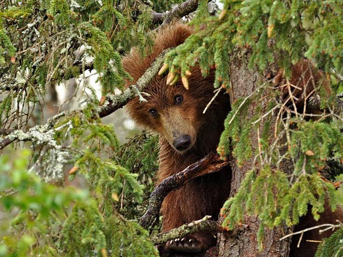 Bear Cub, Alaska