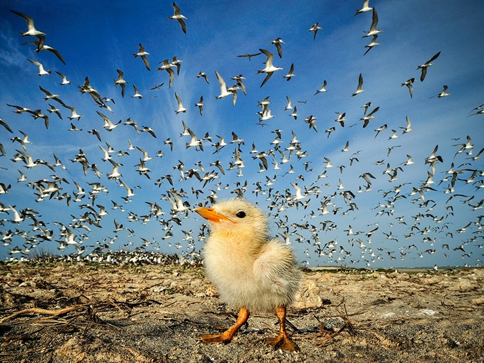 Tern Chick, Sri Lanka