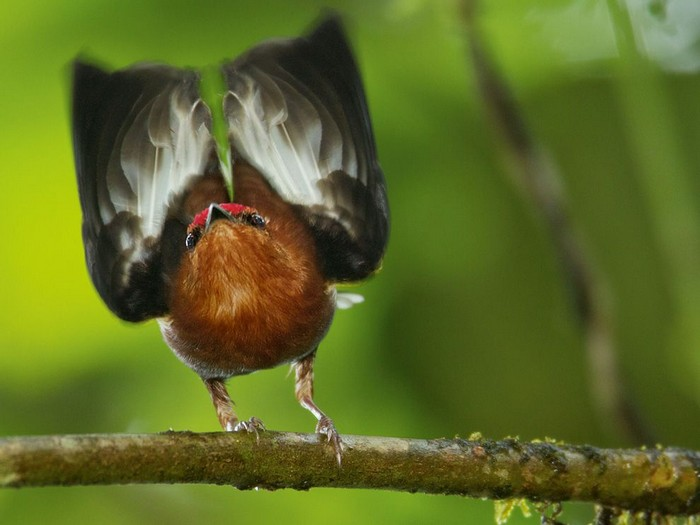 Club-Winged Manakin, Ecuador