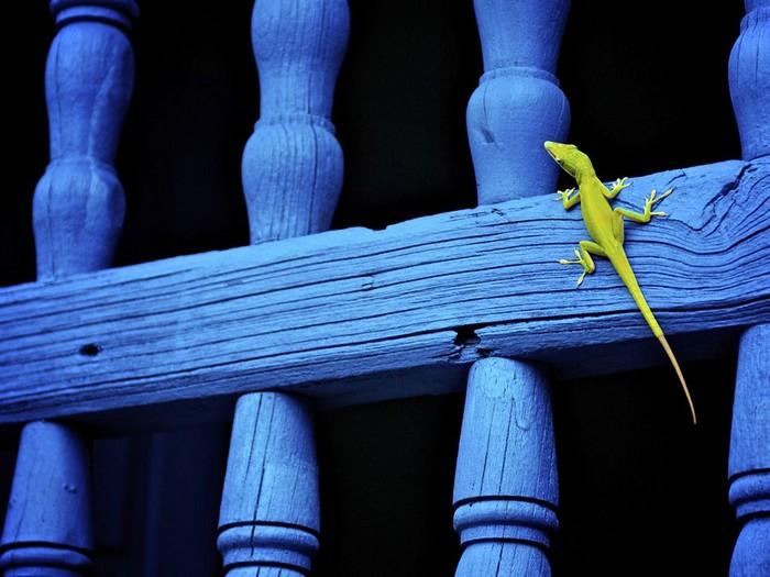 Lizard, Cuba