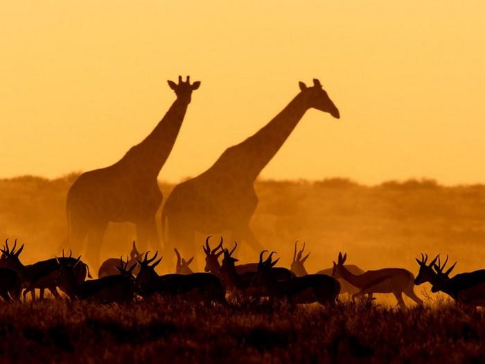 Giraffes and Gazelles, Namibia
