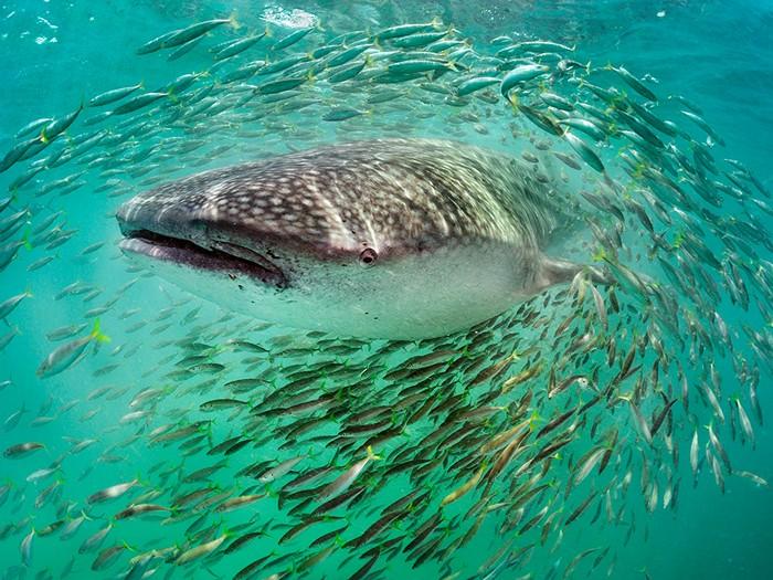 Whale Shark, Yucatan Peninsula
