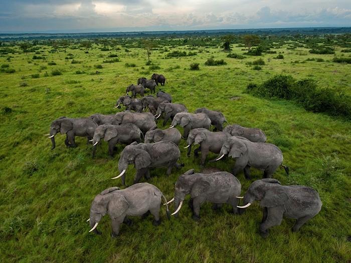 Elephants, Uganda