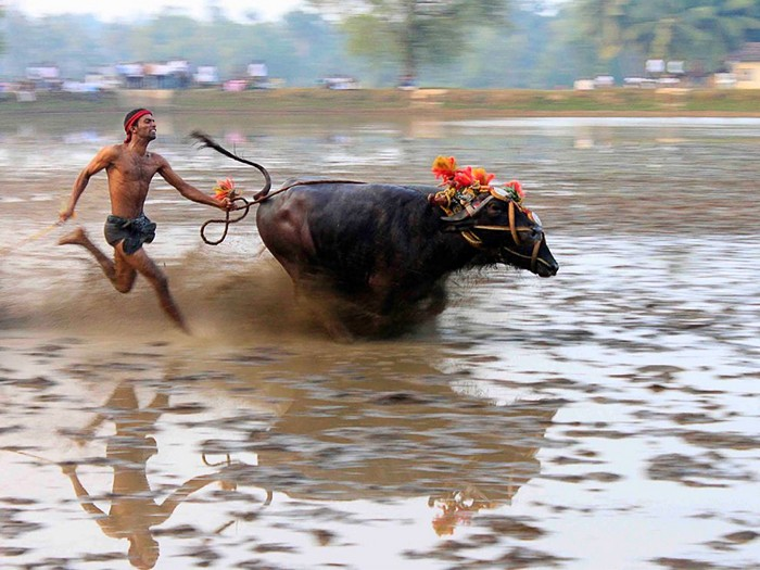 Buffalo Race, India
