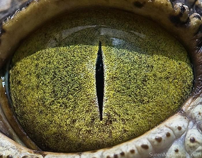 Глаз нильского крокодила из серии макроснимков *Animal Eyes*