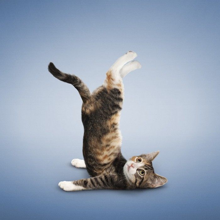 Котята, занимающиеся йогой. Фотокалендарь Yoga Kittens от Даниэля Борриса (Daniel Borris)