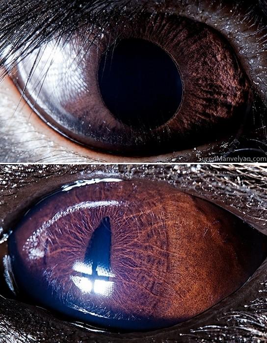 Глаза черного кролика (вверху) и гиены