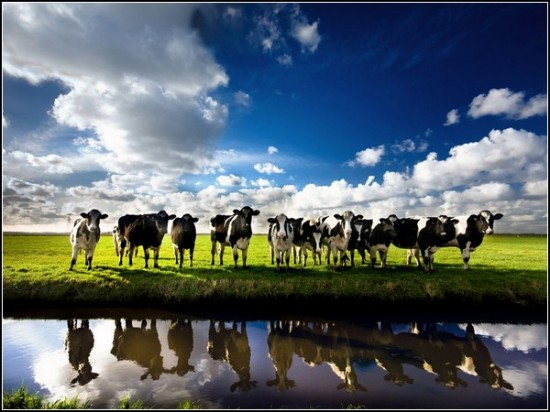 Cows, Netherlands
