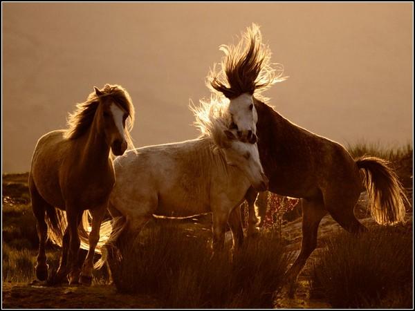 Horses, Wales