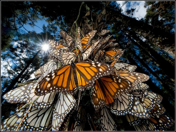 Monarch Butterflies, Mexico