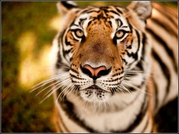 Tiger, Chiang Mai