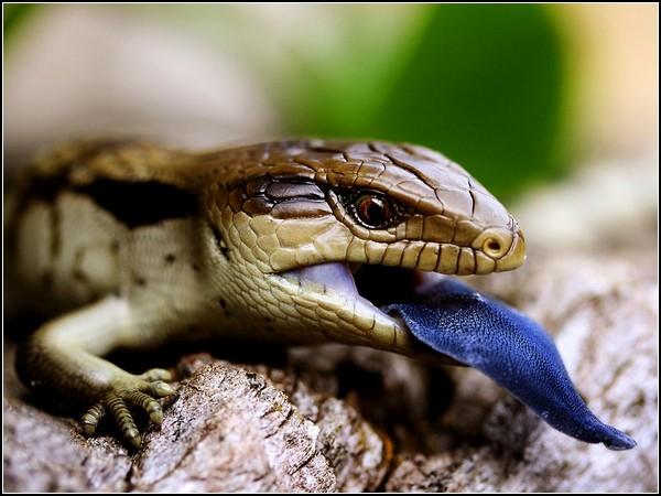 Blue-Tongued Lizard, Australia