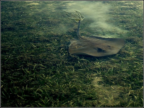 Sting Ray, Key West