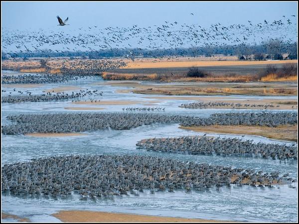 Sandhill Cranes, Platte River