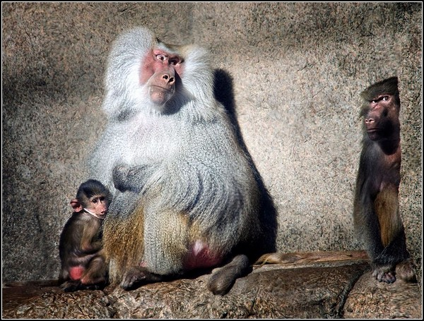 Baboons, Prospect Park Zoo