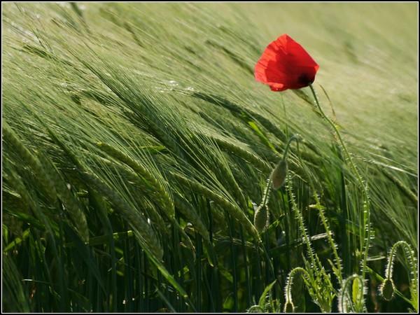 Poppy in Field, Geneva
