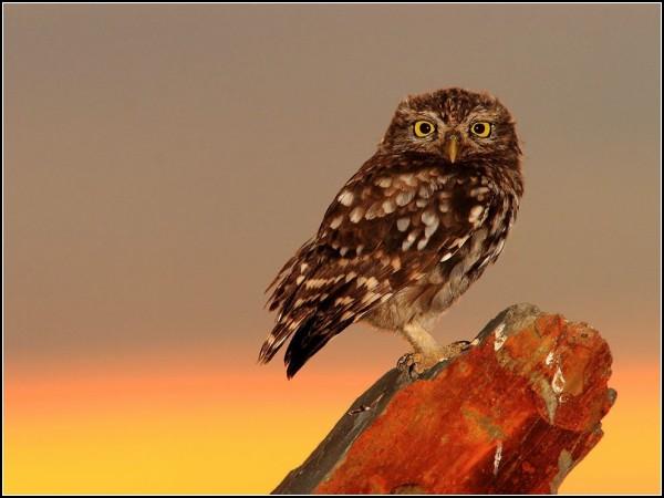 Little Owl, Spain
