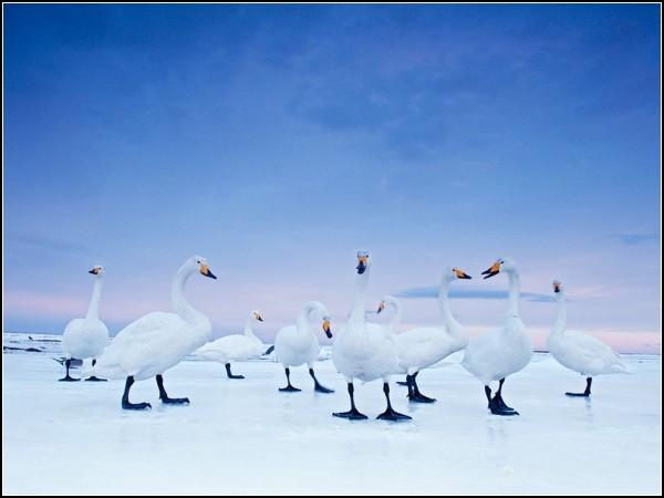 Whooper Swans, Hokkaido