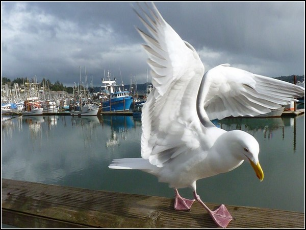 Seagull and Boats