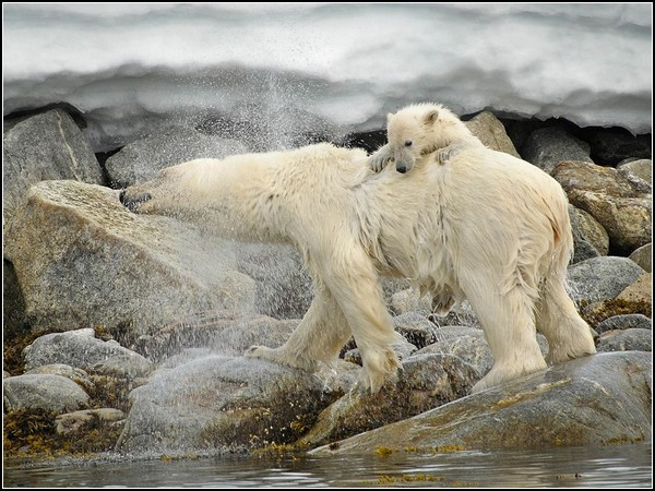 Polar Bear and Cub, Svalbard