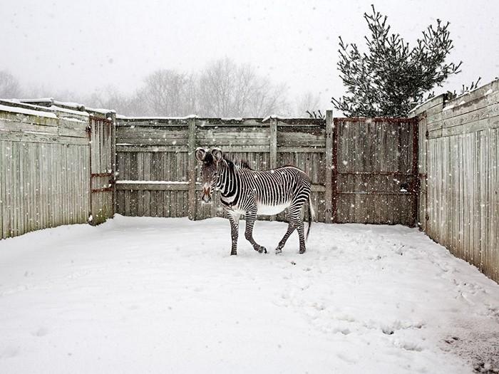 Grevy's Zebra, Ohio