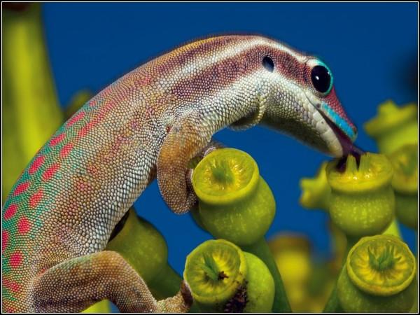 Ornate Day Gecko, Mauritius