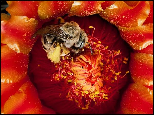 Cactus Bee, Arizona