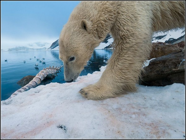 Polar Bear With Whale Bone