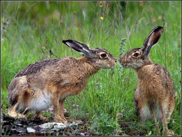 Hares, Italy