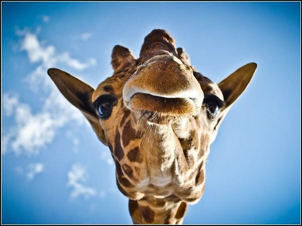 Giraffe, Mexico