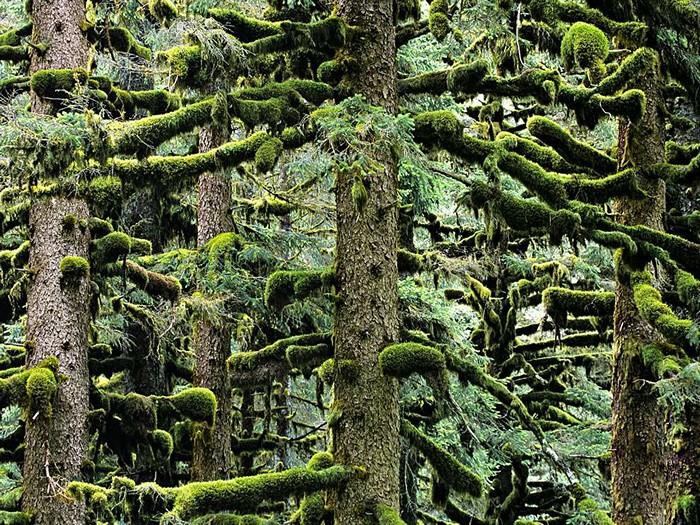 Spruce Trees, Alaska