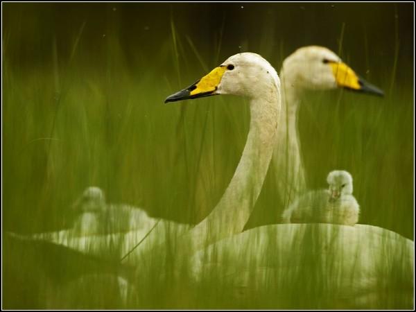 Whooper Swan Family