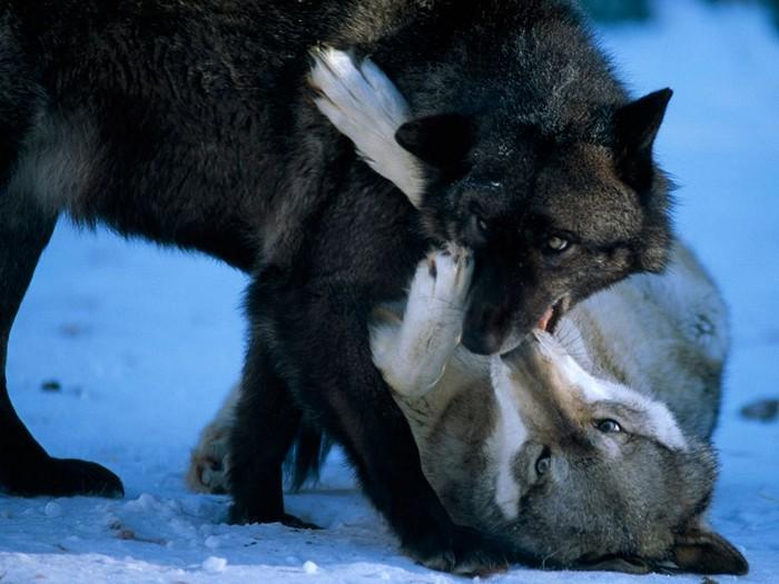 Gray Wolves, Minnesota