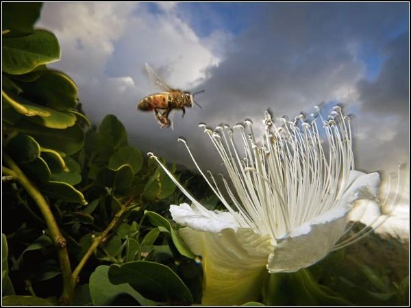 Honeybee, Kauai